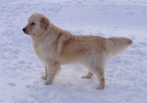 golden retrievers minnesota welcome to pine lake goldens breeders of american golden