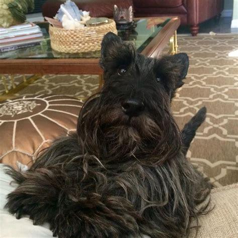 brindle cairn haircut 31 best brindle scottish terrier images on pinterest