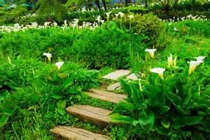 calla lilies www coolgarden me