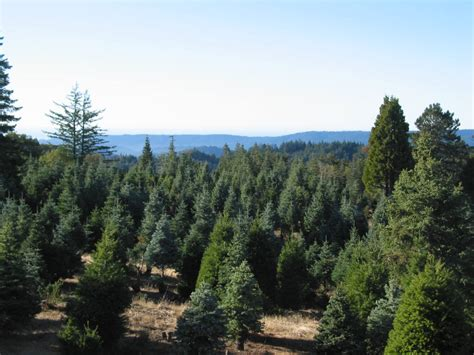 christmas tree cutting ranch near san antonio 2012 guide to bay area s tree farms and lots 171 cbs san francisco