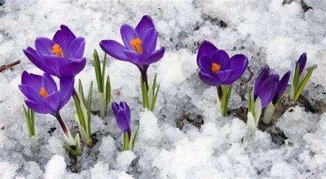 fiori crocus crocus semis entretien culture et arrosage