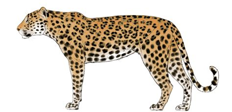 leopard color how to draw big cats lions tigers cheetahs and much more