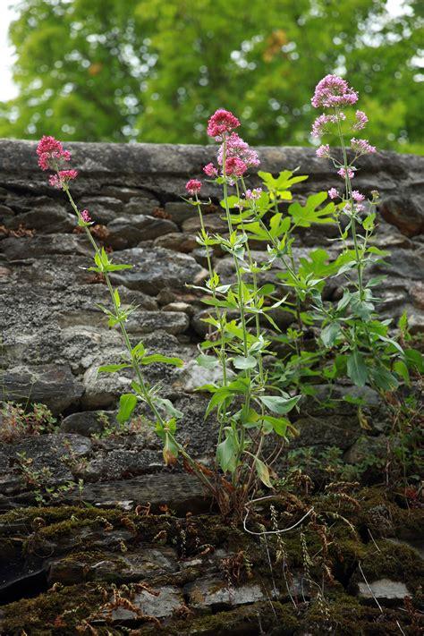 Arbustes Fleurs Rouges by Arbustes Fleurs Rouges Cool Une Fleur Et Ses