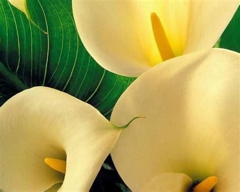 linguaggio dei fiori calla significato calla significato fiori linguaggio dei