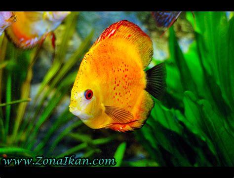 5 Makanan Ikan Hias ikan air tawar septian cahyo susilo