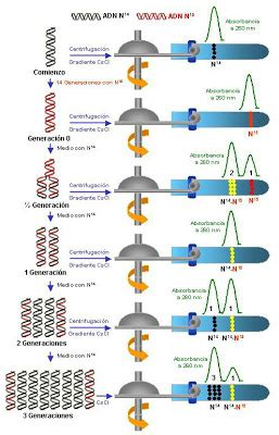 Dna 0 Resumen by Anonymous Biologist Tarea Experimento De Meselson Stahl