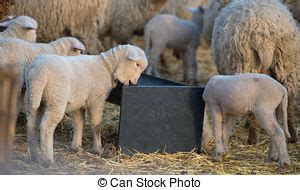 can i drink water before c section drinking sheep stock photo images 786 drinking sheep