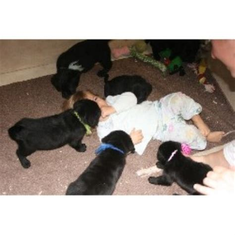 lab puppies rochester ny labrador retriever puppies rochester ny rachael edwards