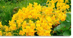 mimulus fiore di bach mimulus fiore di bach per la paura delle cose mondo
