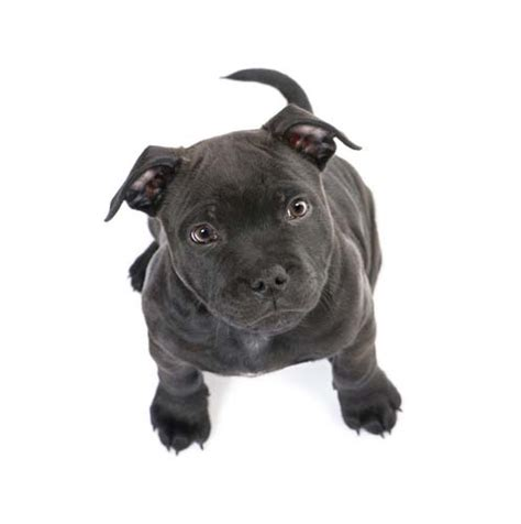 when do you start a puppy vet s tips on how to raise a pit bull puppy healthily