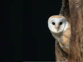 barn owl world animal beauti and barn owl