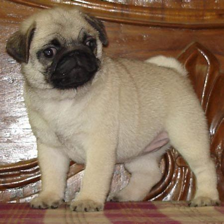 price of pug pug price in india driverlayer search engine