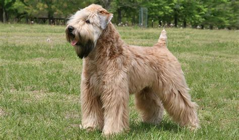Soft Coated Wheaten Terrier Dog Breed Information   soft coated wheaten terrier dog breed information