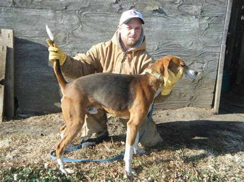 coyote hounds for sale wi walker coyote hound for sale blackhairstylecuts com
