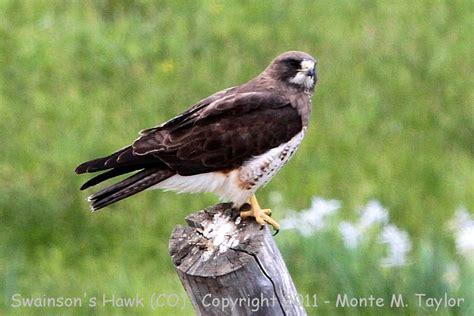 swainson s hawk