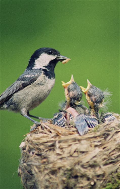 what do baby birds eat how to feed wild baby birds and food