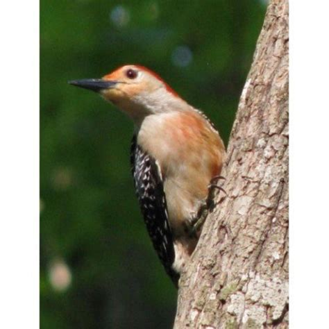 pictures of birds woodpeckers in southeastern louisiana