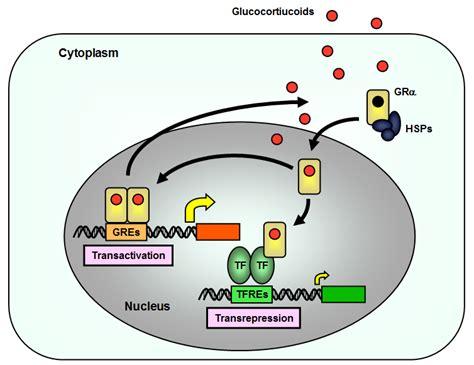 Glucocorticoids Also Search For Figure7 Endotext