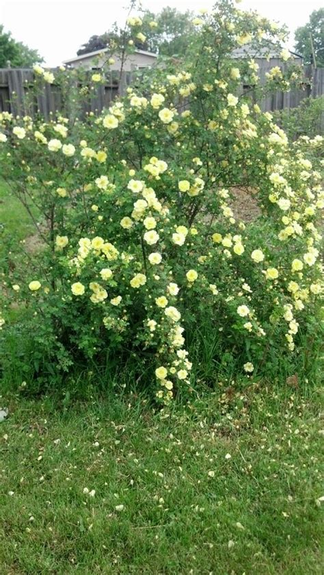 flowering shrubs oregon quot harison s yellow quot also known as the oregon trail