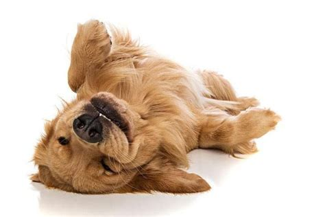 golden retriever heavy panting 1000 images about golden retrievers on