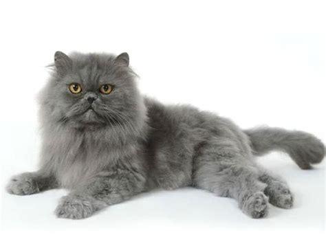 gatti persiani bianchi persiano razze feline