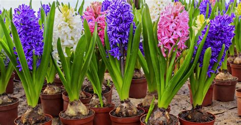 prefinished flowering bulbs my garden life