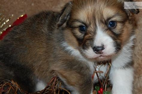 fluffy corgi puppies for sale meet a corgi puppy for sale for 1 000 calvin quot fluffy quot wind