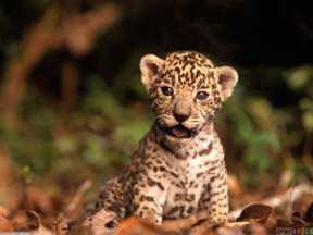 How Do Jaguars Babies