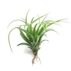air plants wholesale green abdita multifolora air plants