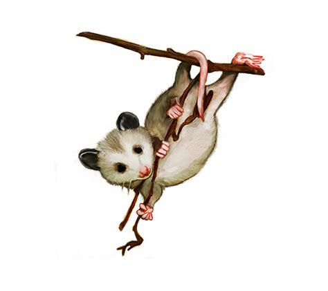 opossum clipart opossum clipart possum pencil and in color opossum