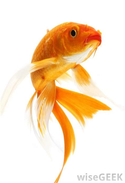 Types Of Aquarium by What Is A Goldfish With Picture