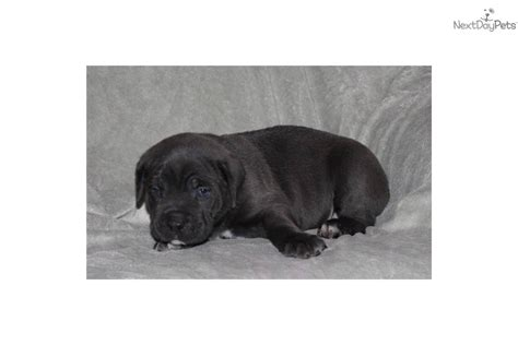 corso puppies for sale in nj dogs and puppies for sale and adoption oodle marketplace