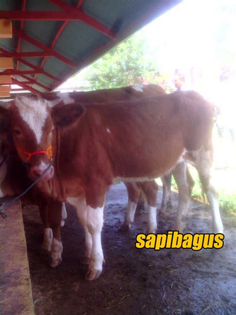 Bibit Sapi Simental perkembangan harga sapi di pasar ternak payakumbuh juli 2016 sapibagus