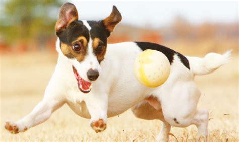 cani piccolissimi da appartamento cani piccolissimi da appartamento duylinh for
