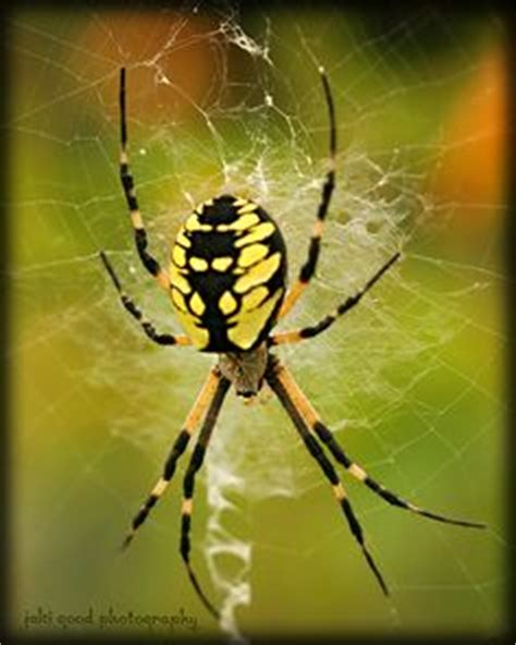 Garden Spider With Yellow Stripes Australia Black And Yellow On Skull Wedding Cakes Ford