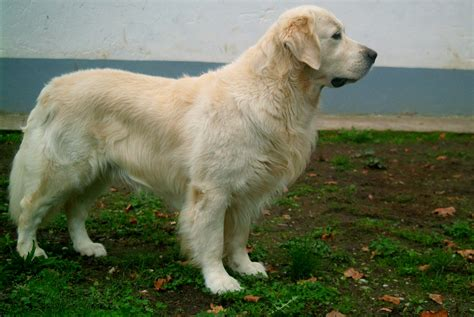 golden retriever websites golden retriever misha 267624