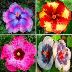 what color is hibiscus buy wholesale hibiscus colors from china hibiscus