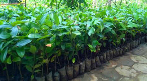 Jual Bibit Buah Pekanbaru jual bibit pohon tanaman sedia aneka bibit pohon