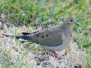 mourning dove identification all about birds cornell