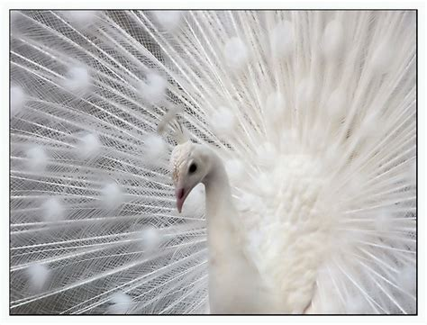 5 Things White And Beautiful 2 by White Peacock Wallpaper Zoom