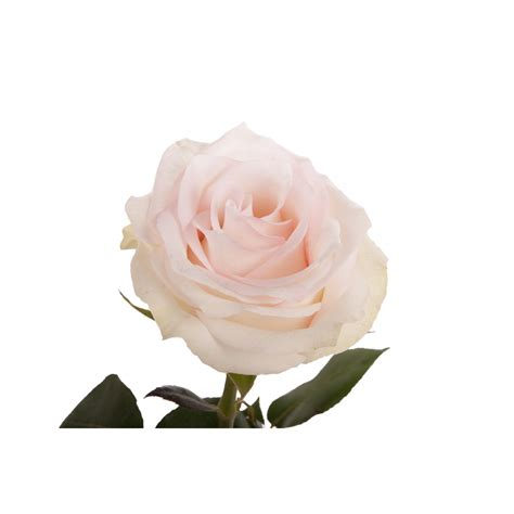 blush pink gallery for gt blush pink roses