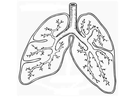 Lungs Coloring Worksheet Respiratory System Lungs Respiratory System To Coloring
