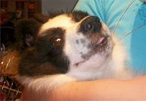 can dogs get tetanus tetanus in a veterinary surgeons net