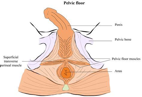 pelvic floor muscles diagram pelvic floor muscles anatomy diagram of anatomy