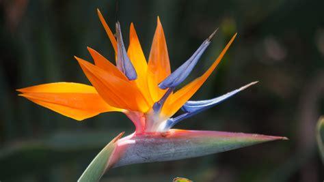 bird of paradise flower weneedfun