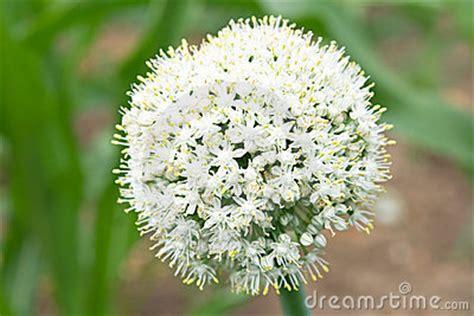 bulbacee da fiore cipolle germogliate forum giardinaggio