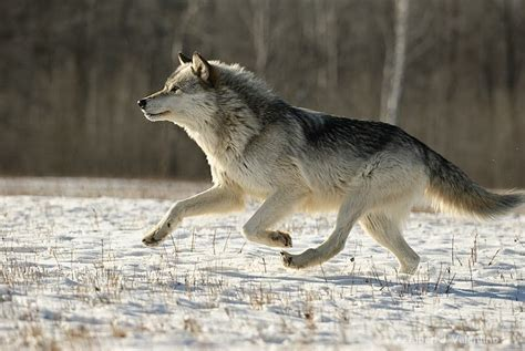 how fast can a run how fast can a wolf run animal searching