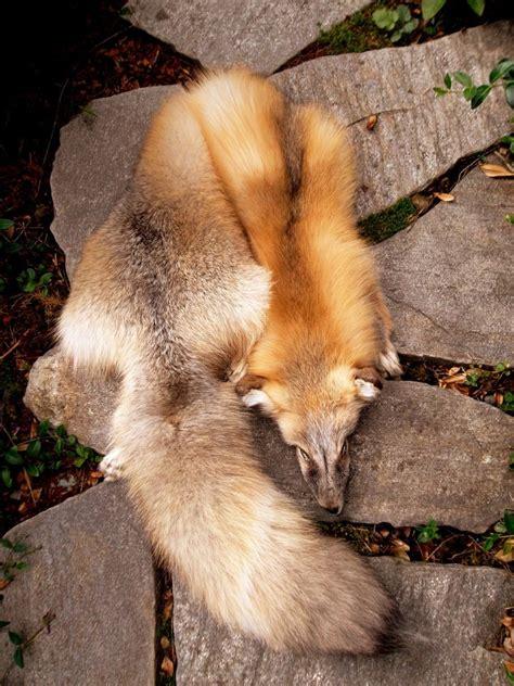golden island fox by adarkernemisis on deviantart - Golden Island Fuchs