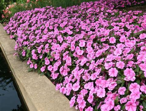 fiori vetro fiori di vetro piante annuali fiori di vetro