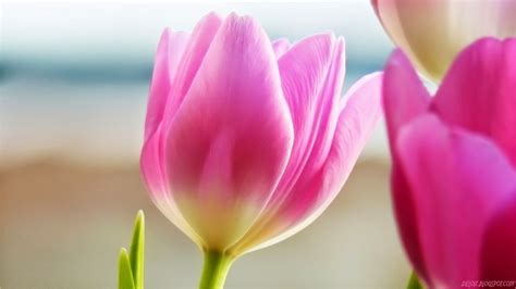Bunga Tulip Pink pin bunga tulip wallpaper images on